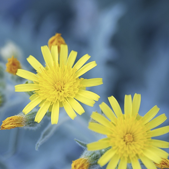 写真1:ヒエラシウムの花