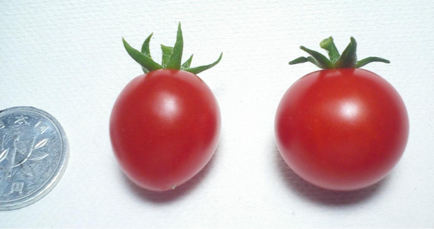写真2:マイクロトムとミニトマト