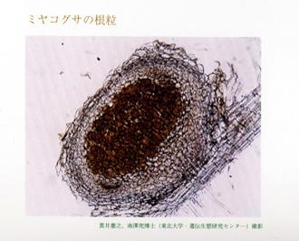 ミヤコグサの根粒