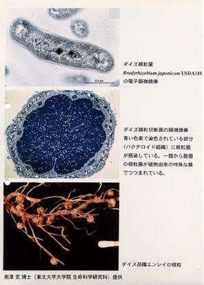 ダイズ根粒菌
