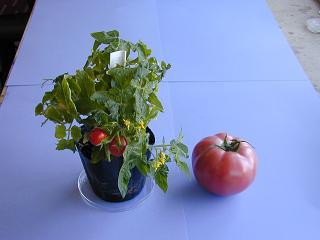 ملف كامل عن زراعة الطماطم  Top3